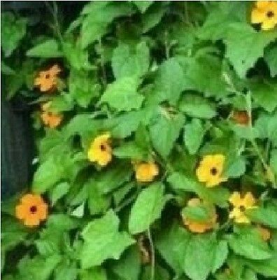 Flower - Thunbergia alata Mixed - Black-Eyed Susan - 10 Seeds