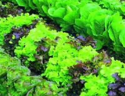 Vegetable - Lettuce - Mixed - Baby Leaf - 5g Seeds - Approx 4250 Seeds