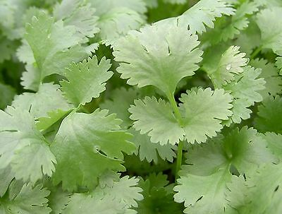 Herb - Coriander Collection  4 Varieties Seed Special Price