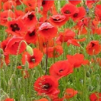 Wild Flower - Papaver rhoeas Flanders Red Common Corn Field Poppy - 20000 Seed