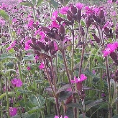 British Wild Flower  Silene Dioica - Red Campion - 2000 Seed