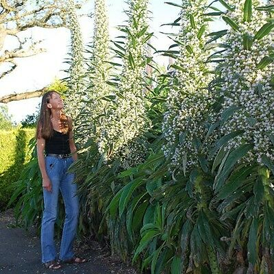 Flower - Echium  - Snow Tower - 20 Seed - Spectacular