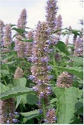 Herb - Anise Hyssop - Agastache Foeniculum - 5000 Seeds - Large