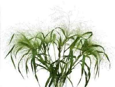 Grass - Panicum Elegens - Frosted Explosion - 125 Seeds - Large Packet