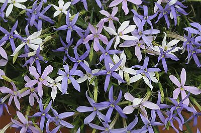 Flower - Isotoma - Tristar - Mixed - 20 Seed