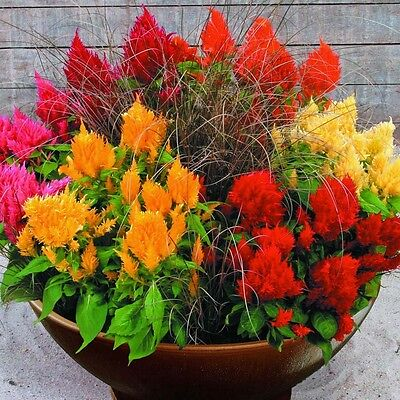 Celosia Fairy Fountains Mix Seed 4 Colours Cockscomb Low Growing 200+ Seeds
