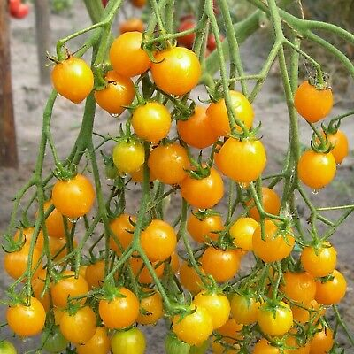 Rare Seeds Tomato Golden Cherry Russian Heirloom Vegetable Seed