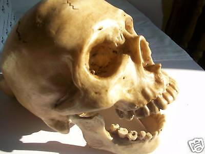 Human Skull Model with Hinged Jaw - Prop/Ornament