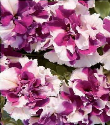 Flower - Petunia - Double Pirouette Purple and White - 30 Pelleted Seeds