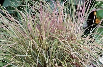 Ornamental Grass - Anemanthele sirocco - 10 Pelleted Seed