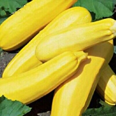 Rare Seeds Summer Squash Zucchini Svitozar Organically Grown Heirloom Vegetable