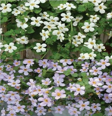Flower - Bacopa topia Mixed - 20 Seed - Large Pack