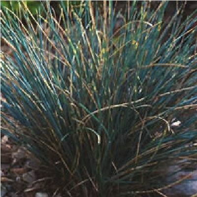 blue fescue ornamental grass seeds (festuca cinerea glauca varna, Garten ideen
