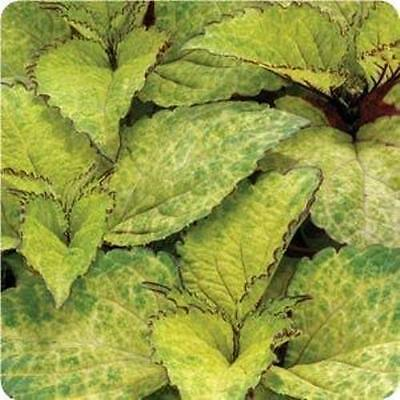 Coleus - Wizard Pineapple - 50 Seeds