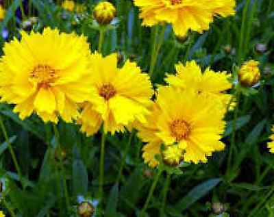 Coreopsis Grandiflora Texas 100 Fresh Seeds Free Usa Shipping