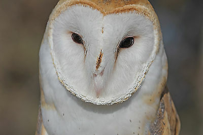 Barn Owl Taxidermy Reference Photo Cd