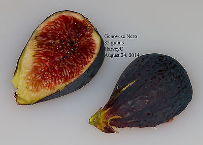 Fig Cutting - Rob's Genovese Nero - For Evaluation Only