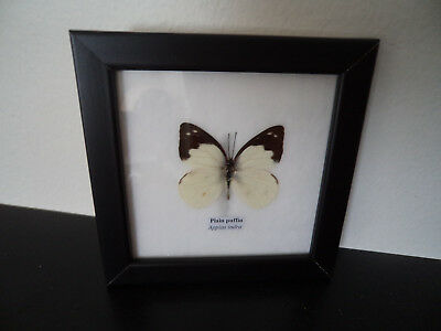 Real Butterfly Lime Butterfly Taxidermy Framed Display Lepidoptera Zoology