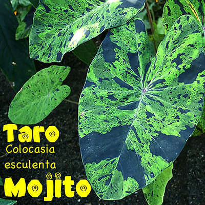 ~MOJITO~ TARO Colocasia esculenta VARIEGATED CAMO ELEPHANT EAR POT'D Small Plant
