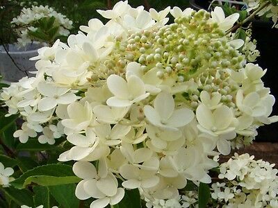 samthortensie hydrangea aspera 39 macrophylla 39 sch ner. Black Bedroom Furniture Sets. Home Design Ideas