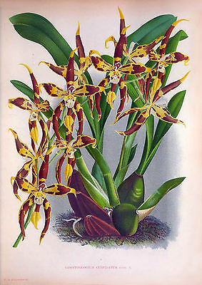 ANTIQUE ORCHID PRINTS - Restored, High Res, LARGE A3, Print-Making Images DVD