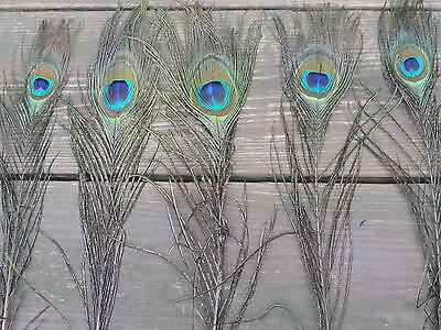 "5 Small-Medium Sized Peacock Eyes w/herl,  10-12"" long, for Crafts and Fly Tying"