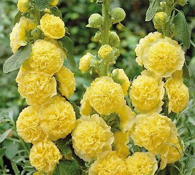Flower Seeds Hollyhock Makhrovaya Double ,Yellow (Althaea rosea) Perennial Seed