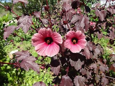 Hibiscus acetosella Red Shield 10 seeds
