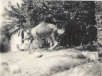 WWII German DAK RP- Afrika Korps- Africa- Libya- Soldier- Camel- Well- Apr 1942