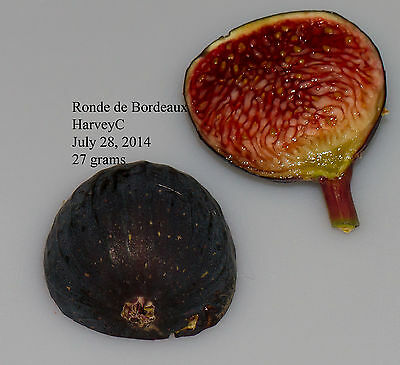 'Ronde de Bordeaux' Fig Cuttings (2) - Excellent French variety