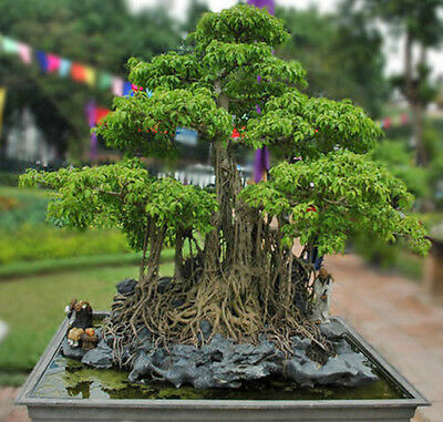 100 + Curtain or Cathedral Fig (Ficus virens) - Seeds - Bonsai or Feature