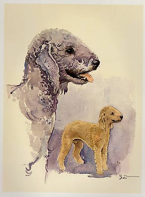 Vintage BEDLINGTON TERRIER Dog Print Gallery Wall Art  Beautiful Art Print #369