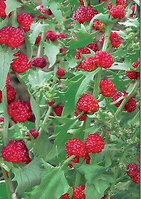 Herb Seeds Strawberry Spinach (Chenopodium Capitatum) Organic Heirloom