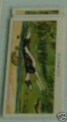 #22 coursing - Sport cigarette card