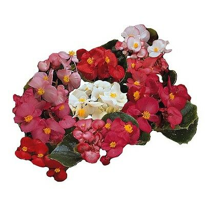 Begonia - Ambassador Mixed F1 - 50 Pelleted Seeds