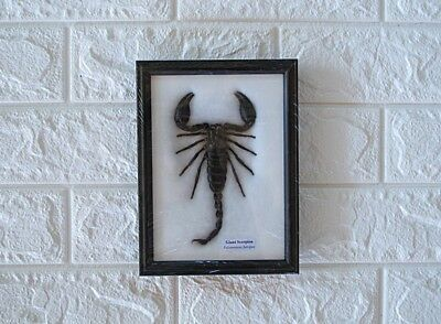 Real Big Giant Scorpions Taxidermy Insects In Frame Home Decor Collectibles
