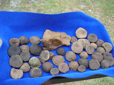 Florida Fossil Fossils 35+ Echinoids Sea Biscuits Sea Urchins Ancient Sea Floor