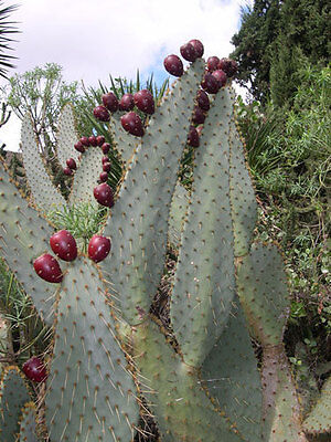 Opuntia engelmannii linguiformis COWS TONGUE PRICKLY PEAR CACTUS Seeds