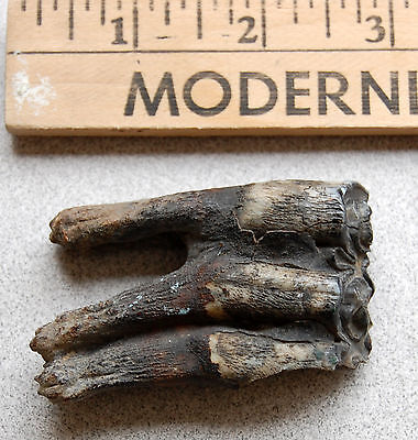 Horse Tooth from a Southwest Michigan Native American Collection