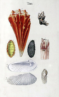 Repro 18th Century Natural History Print of Seashells #11