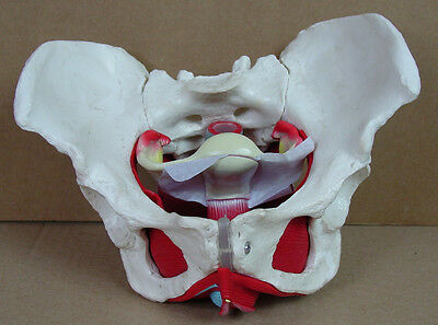 Female Pelvis Model w/ Uterus, Ovary Childbirth Midwife Unremovable Fixed 24cm