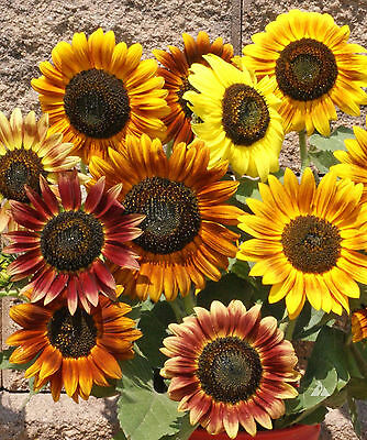 Autumn Beauty Sunflower Seeds * 60 Inches * Up To 8 Inches Across In Mixture *