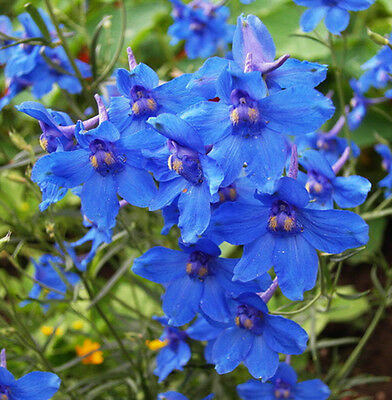 Delphinium - Consolida Blue Butterfly Seed Large Cut or Dried Flowers Rich Blue