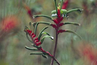 Little Wallaby Paw Seed Red/Green Flower DroughtTolerant Anigozanthos gabrieliae