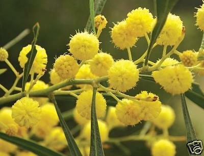 Golden Wreath Wattle Drought & Frost Hardy 30 Seeds Small Tree Grey-Green Leaves
