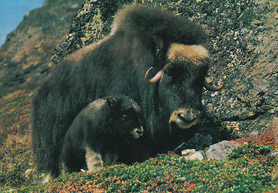 Post Card - Norge / Norway - Musk with calf