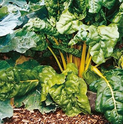 Kings Seeds - Beet - Leaf Beet Yellow Chard