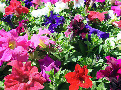 Petunia Bonanza Seed Annual Double Flowers Six Colours Low Maint Full Sun