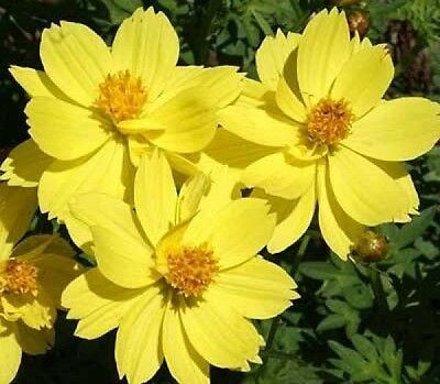 Cosmos Dwarf Lemon 30 Fresh Flower Seeds Free Usa Shipping