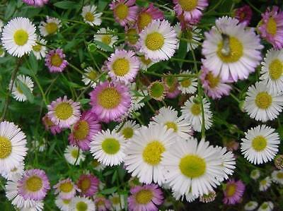 Seaside Daisy Profusion White Seed Fading Pink Tough Groundcover Drought OK